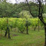 127-wijngaard